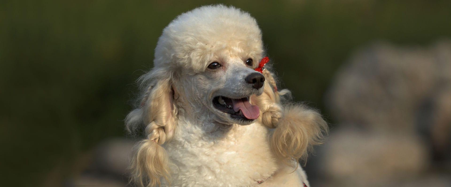 Poodle Dog Diet Best Breed